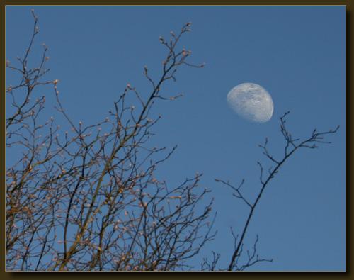 Frühlingsknospen… und der Mond
