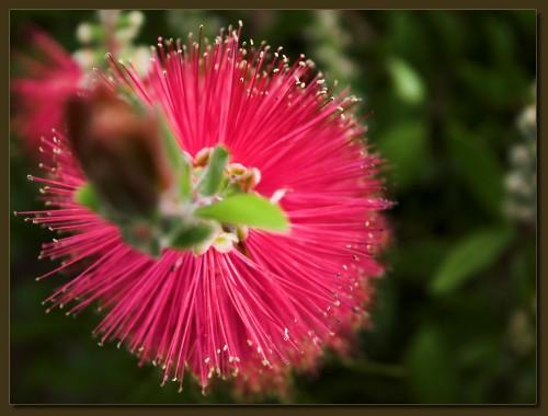 Puschelblume (klick mach groß)