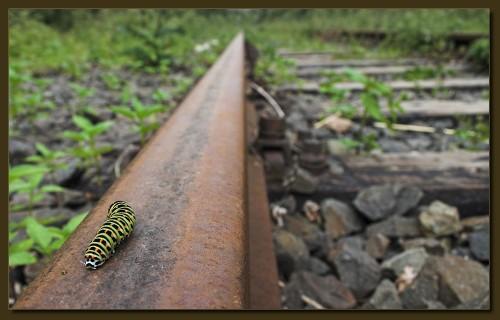 Raupe eines Schwalbenschwanzes auf einer Bahnschiene