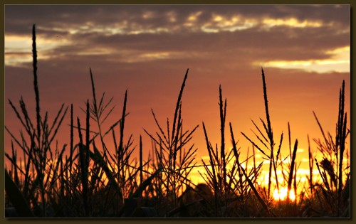 Sonnenuntergang im Maisfeld.