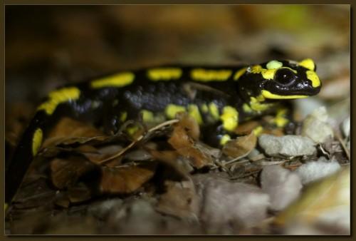 Feuersalamander - Wegenarr - Salamandra salamandra