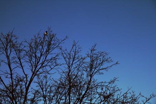 Elster kurz nach Sonnenaufgang auf einem Baum