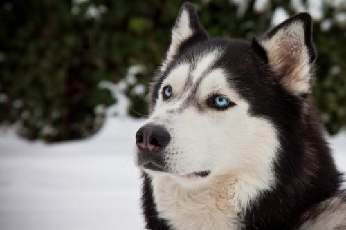 Jacko - der Husky aus der Nachbarschaft