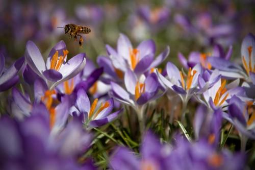 Violetter Krokus mit Biene