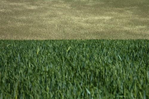 Roggen und Weizen