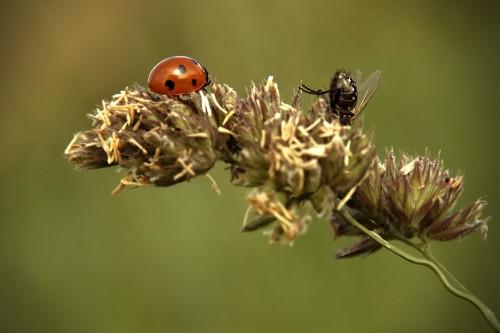 Ladybug vs. fly