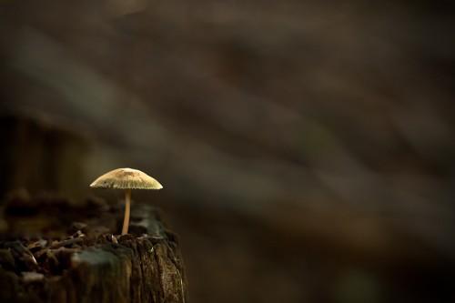 Einzelner Pilz