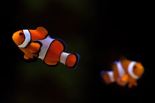 """Clownfische """"Angela"""" und """"Guido"""""""