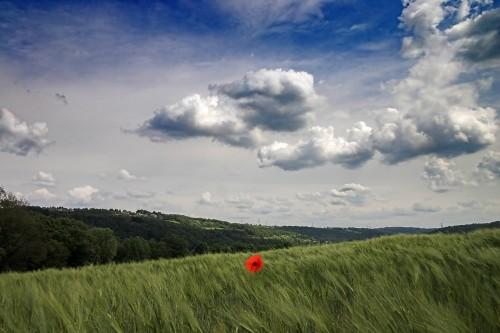 Klatschmohn im Feld mit viel Himmel