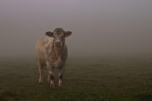 Nebelkuh - Kuh im Nebel